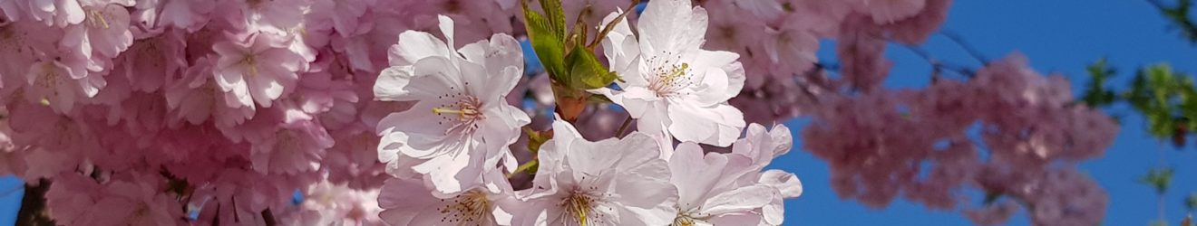 ...wie die Kirschblüte im Frühjahr